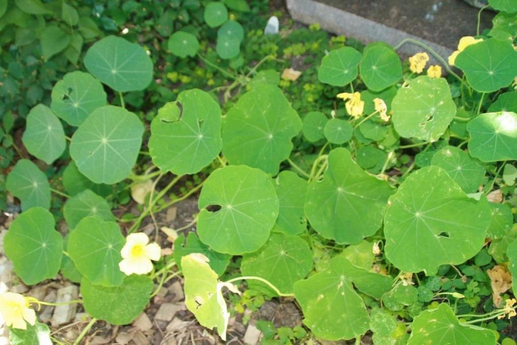 edible weed - Nasturtium