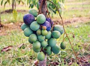 aussie-plum