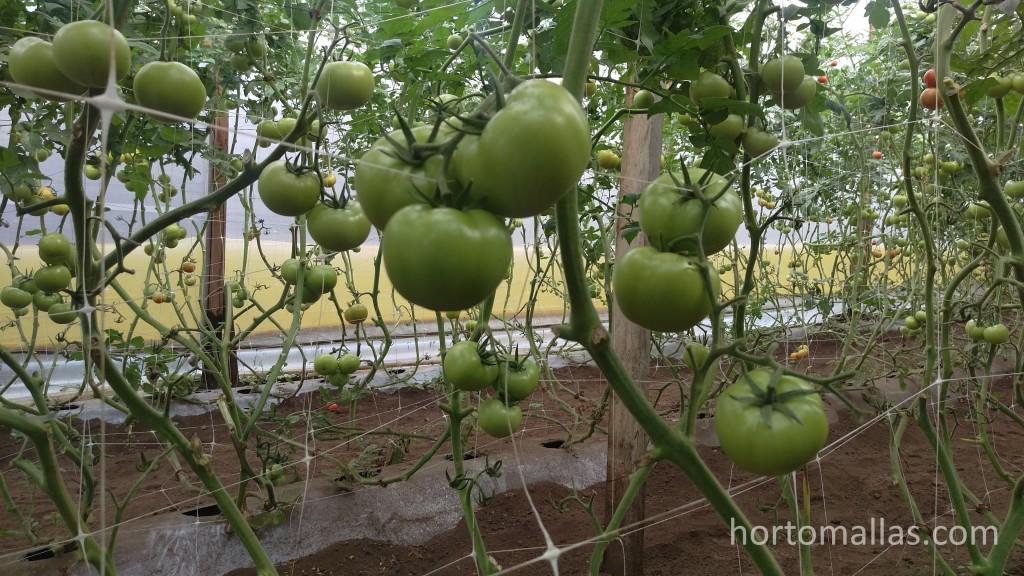 Tomates sostenidos por HORTOMALLAS